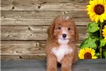 Picture of Chewy is your hypoallergenic sweetheart!