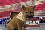 Louie The Shiba Inu is Ready For You! | Puppy at 13 weeks of age for sale