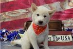 Cream Shiba With A Happy Personality! | Puppy at 12 weeks of age for sale