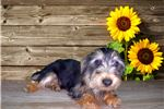 Picture of This Silky Terrier will Melt Your Heart!