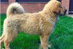 Picture of Tibetan mastiff female puppy