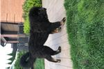 Picture of Excellent tibetan mastiff female puppy