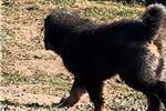 Picture of Tibetan mastiff LION type - excellent male puppy