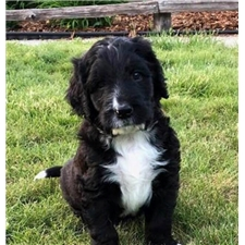 View full profile for Cowlitz Valley Bernedoodles