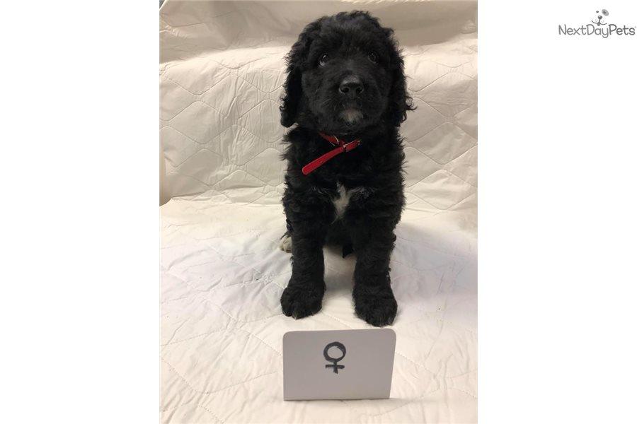 Female 3 Bw Bernese Mountain Dog Puppy For Sale Near