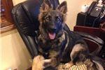 Picture of Louisiana Shepherd Puppies