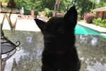 Picture of Male Dutch shepherd with red collar