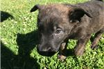 Picture of Male Dutch shepherd with green collar