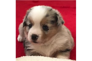 Picture of an Auggie Puppy