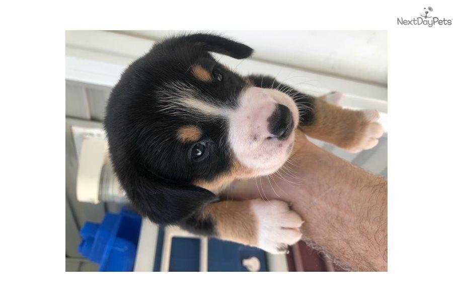 Entle: Entlebucher Mountain Dog puppy for sale near ...