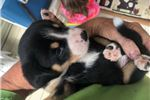Picture of an Entlebucher Mountain Dog Puppy