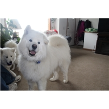 View full profile for Windriver Samoyeds