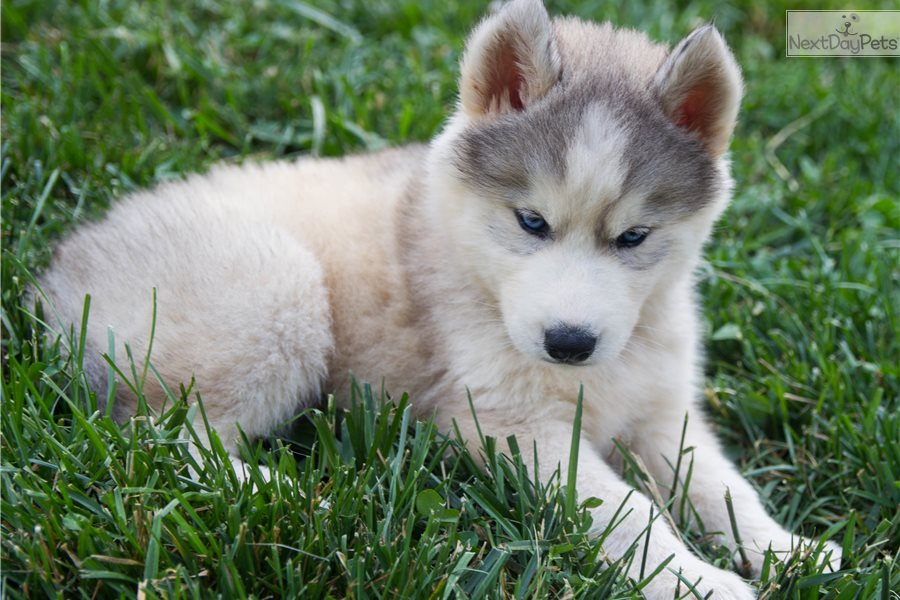 Ledger Siberian Husky Puppy For Sale Near Knoxville Tennessee