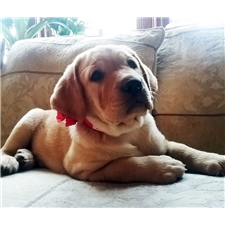View full profile for Heaventree Creek Labradors