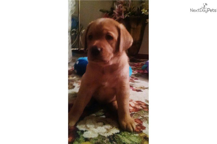 Redshift: Labrador Retriever puppy for sale near Cleveland, Ohio