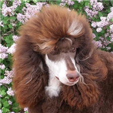 View full profile for Heartland Standard Poodles