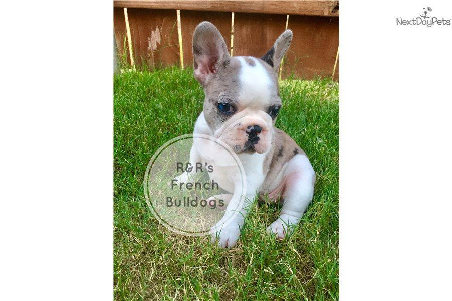 Ava: French Bulldog puppy for sale near Dallas / Fort Worth