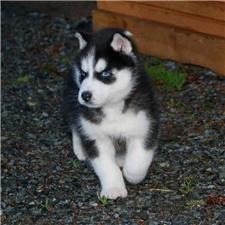 View full profile for Sonrise Kennels Siberian Huskies