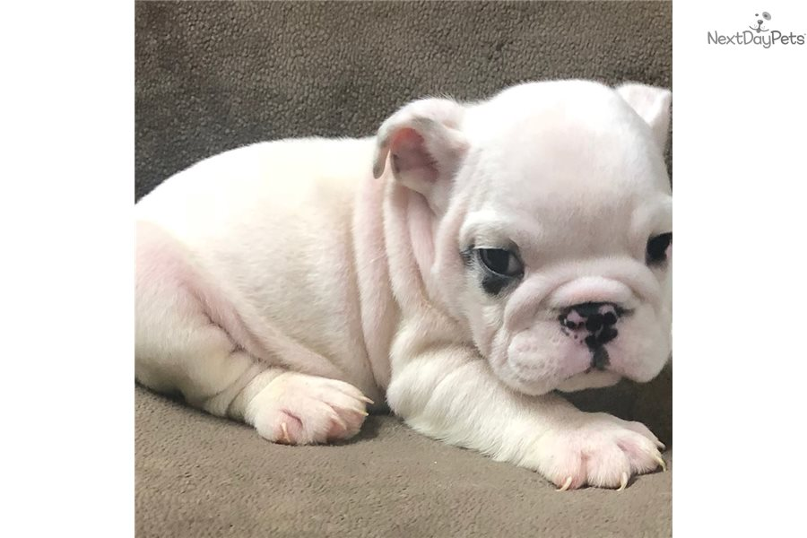 black tail english bulldog puppy for sale near annapolis, marylandblack tail english bulldog puppy for sale near annapolis, maryland 0e47cacc 24a1