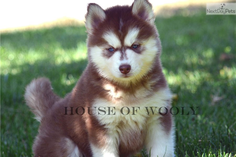 Joey Siberian Husky Puppy For Sale Near San Diego California