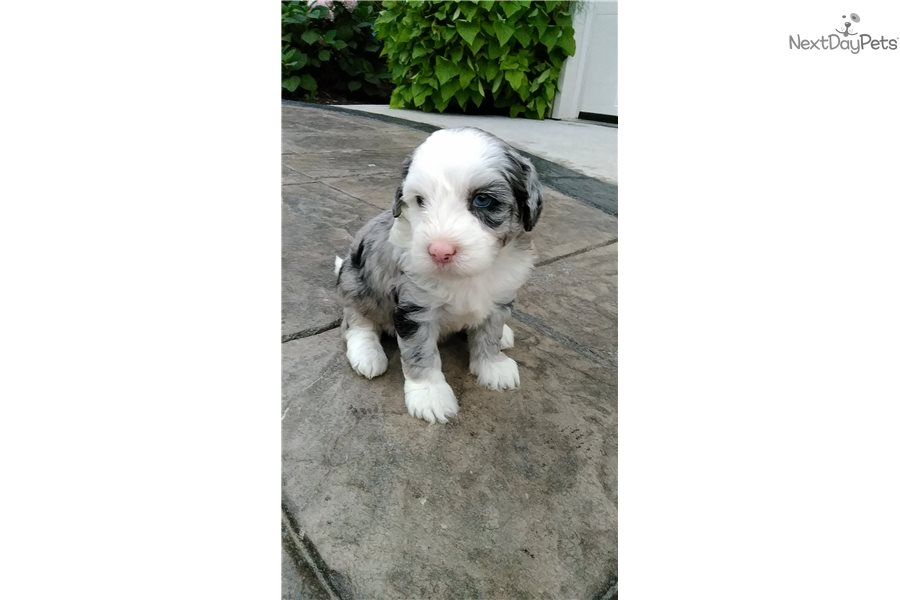 Cuddle Doo's: Sheepadoodle puppy for sale near Akron / Canton, Ohio
