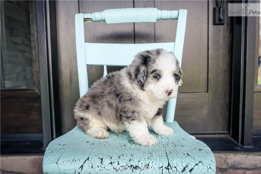 Cuddledoo Sheepadoodle Puppy For Sale Near Akron