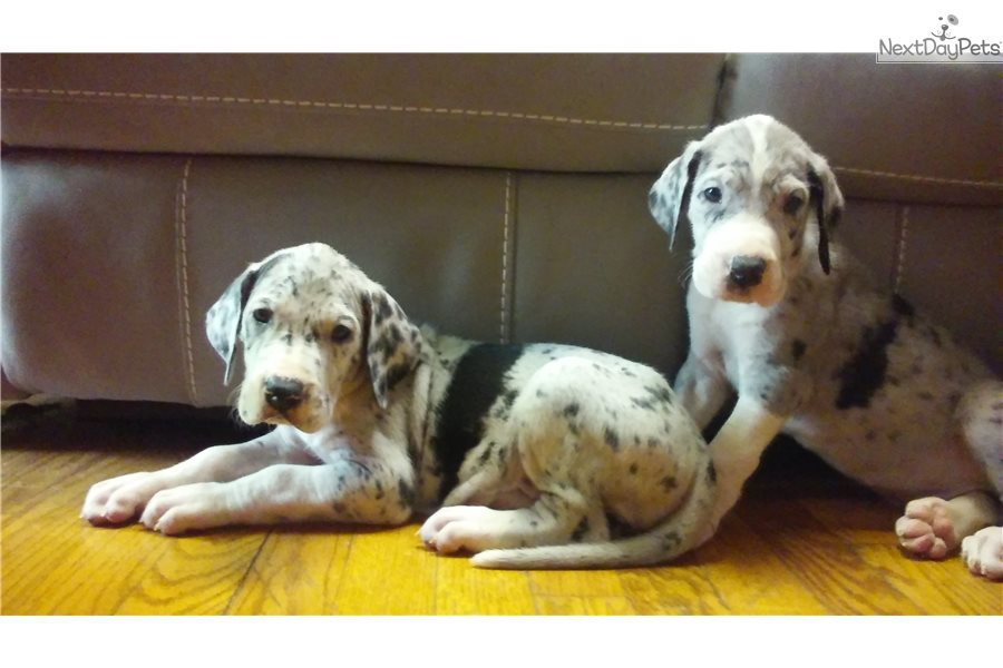 Jetta Great Dane Puppy For Sale Near Lexington Kentucky