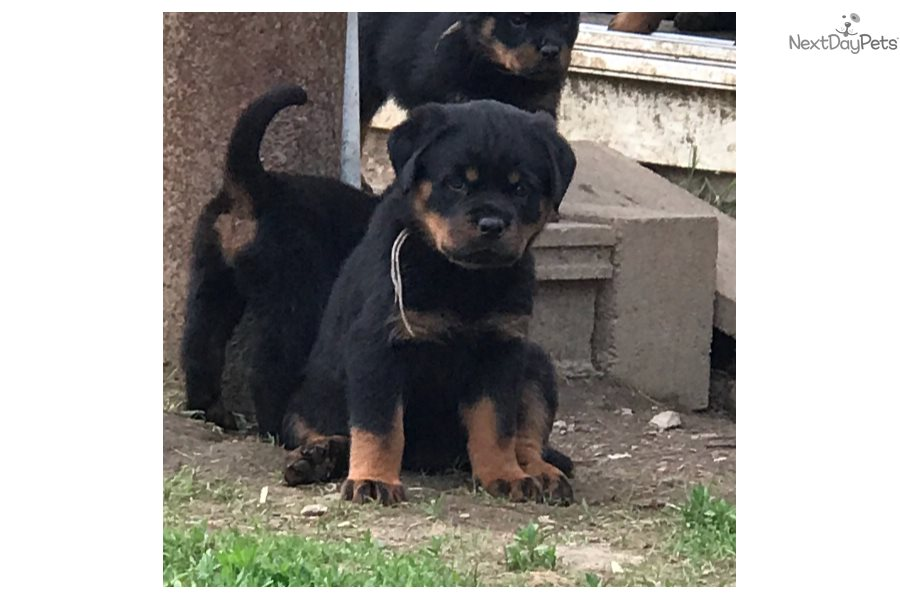 Rottweiler Puppy For Sale Near Albany New York 59344ff3 62e1