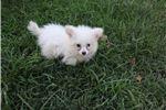 Picture of Tiny, Sweet Pomapoo
