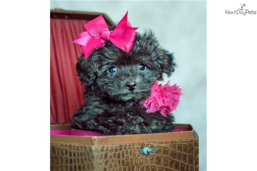 Brindle Female Pekepoo Puppy For Sale Near Portland Oregon
