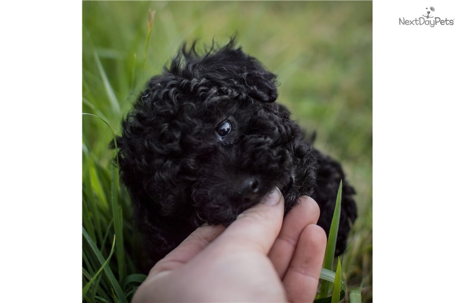 Buck Poodle Toy Puppy For Sale Near Portland Oregon