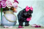 Picture of Tea CUP Peekapoo Pekepoo Black female