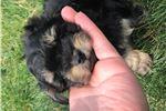 Picture of peekapoo Pekapoo  Pekepoo black/Tan Male Brindle