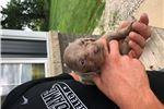 Picture of Winsome Weims Long Hair  Female Puppy