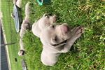 Picture of Winsome Weims Male Puppy