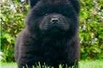 Picture of TC AKC Chow chow puppy NICE !!!