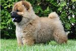 Picture of LIAM AKC CHOW CHOW READY TO GO!