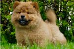 Picture of AKC POW Chinese Import Father VERY NICE! CUTE!