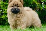 Picture of AKC NALA ADORABLE CHOW CHOW PUPPY