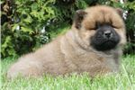 Picture of AKC Liam Adorable  Chow Chow puppy ready to go!