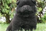 Picture of AKC TC Super Nice Chow chow puppy ready to go