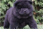 Picture of AKC CHARLIE SUPER NICE CHOW CHOW PUPPY READY