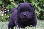 Picture of AKC ROYAL CUTE CHOW CHOW PUPPY !