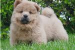Picture of SI AKC CHOW CHOW SUPER  NICE!