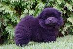 Picture of AKC CHANCE SUPER NICE CHOW CHOW PUPPY!