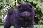 Picture of AKC PETRA BEAUTIFUL CHOW CHOW PUPPY READY TO GO
