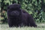 Picture of AKC VALA SUPER NICE CHOW CHOW PUPPY READY TO GO!