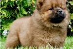Picture of AKC Mey Adorable Chow Chow Puppy Ready to go!