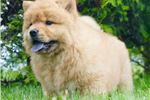 Picture of AKC ROSE SUPER NICE CHOW CHOW PUPPY AVAILABLE!