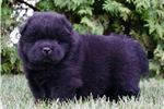 Picture of BARON AKC CHOW CHOW CUTE!